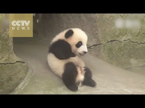 Watch: panda cub's nice slide!